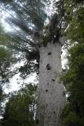 Big Trees - Tane Mahuta